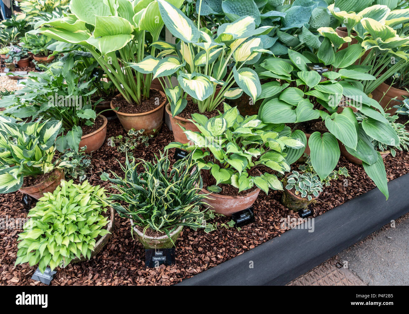 Part of a gold medal winning display of a variety of hostas, including miniature cultivars: Gardeners' World Live, NEC, Birmingham, England, UK - Stock Image