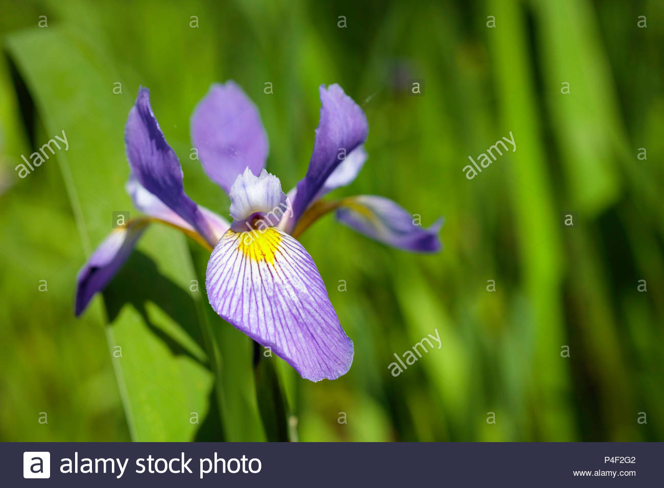 Iris versicolor; blue flag, harlequin blueflag, larger blue flag, northern blue flag, poison flag, purple iris in Lynde Shores Conservation Area Ontar - Stock Image