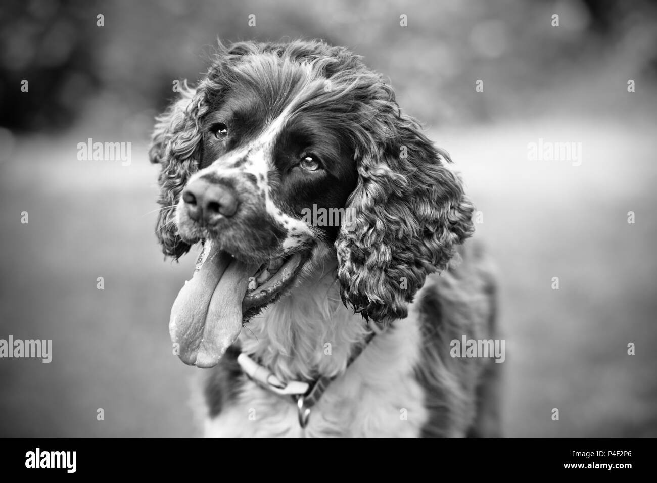 A purebred English Springer Spaniel dog with mouth open.  Very shallow depth of field with blurred background and in artistic black and white (b&w) - Stock Image