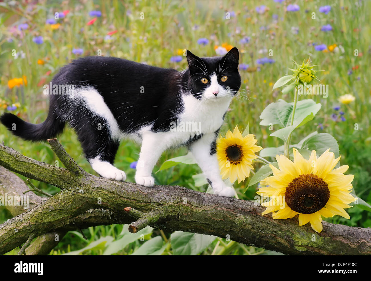 White Cat In The Garden With Yellow Flowers Stock Photos White Cat