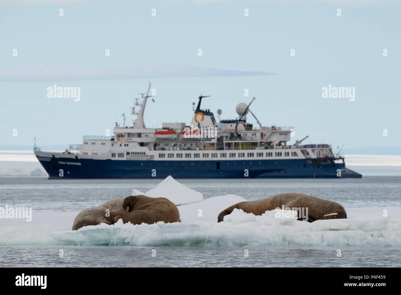 Norway, Svalbard, Nordaustlandet, Austfonna. Walrus (Odobenus rosmarus) with Quark's expedition ship, Ocean Adventurer, in the distance. - Stock Image