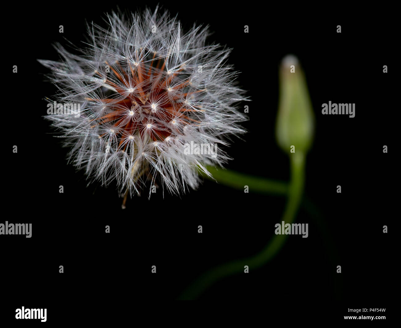 Seedhead with attitude!  Gone to seed background. - Stock Image