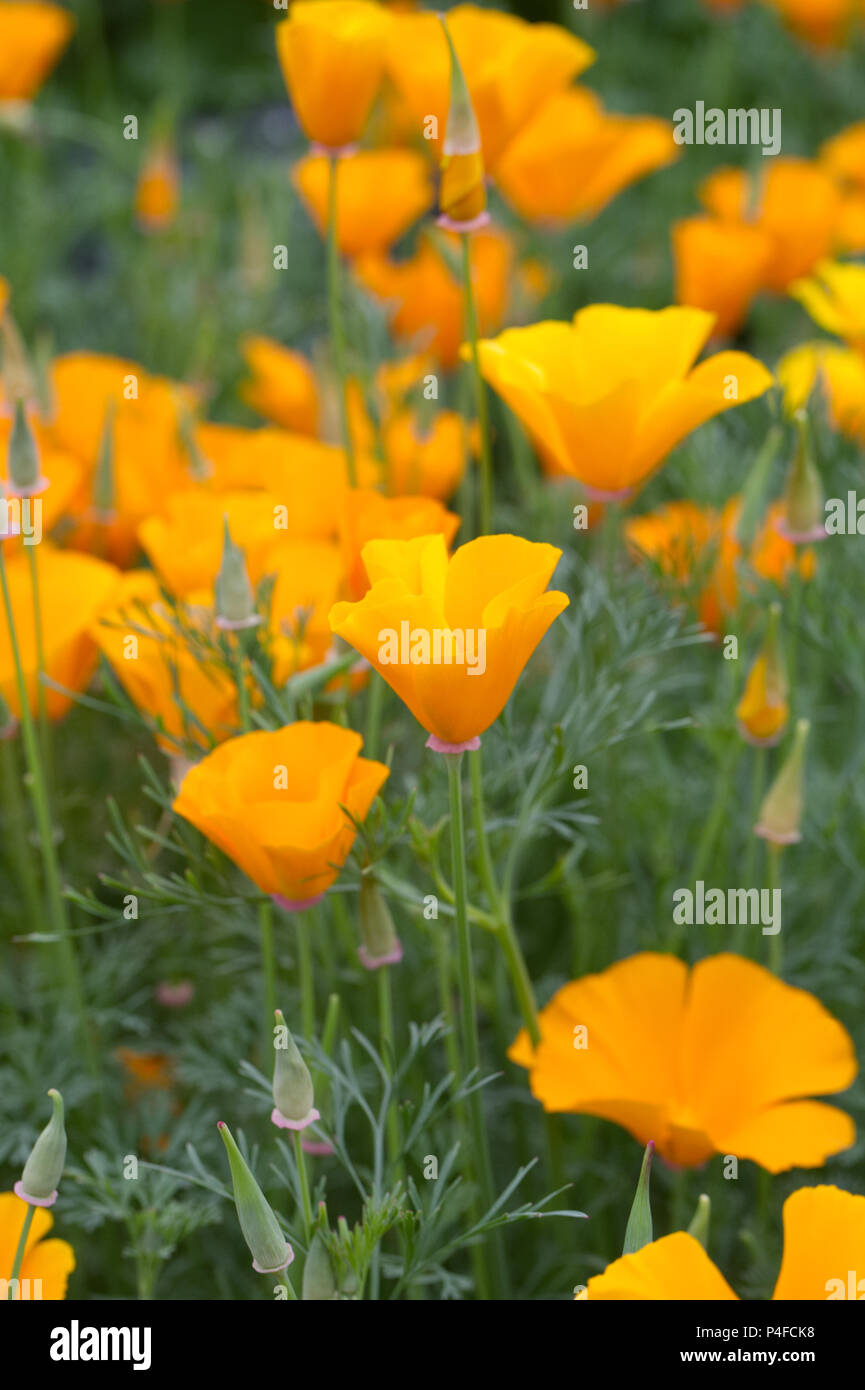 Eschscholzia californica 'Orange King'. Californian poppies. - Stock Image