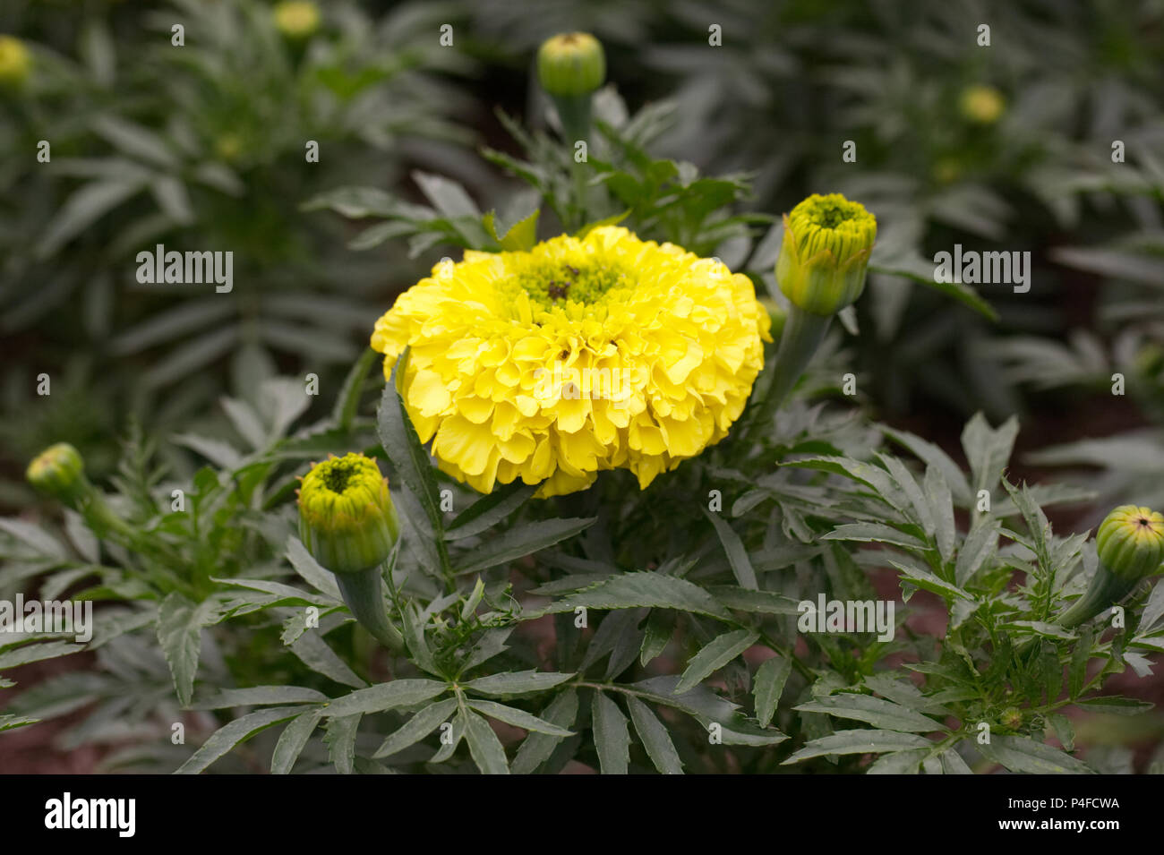 Tagetes erecta Inca II Yellow flowers. - Stock Image