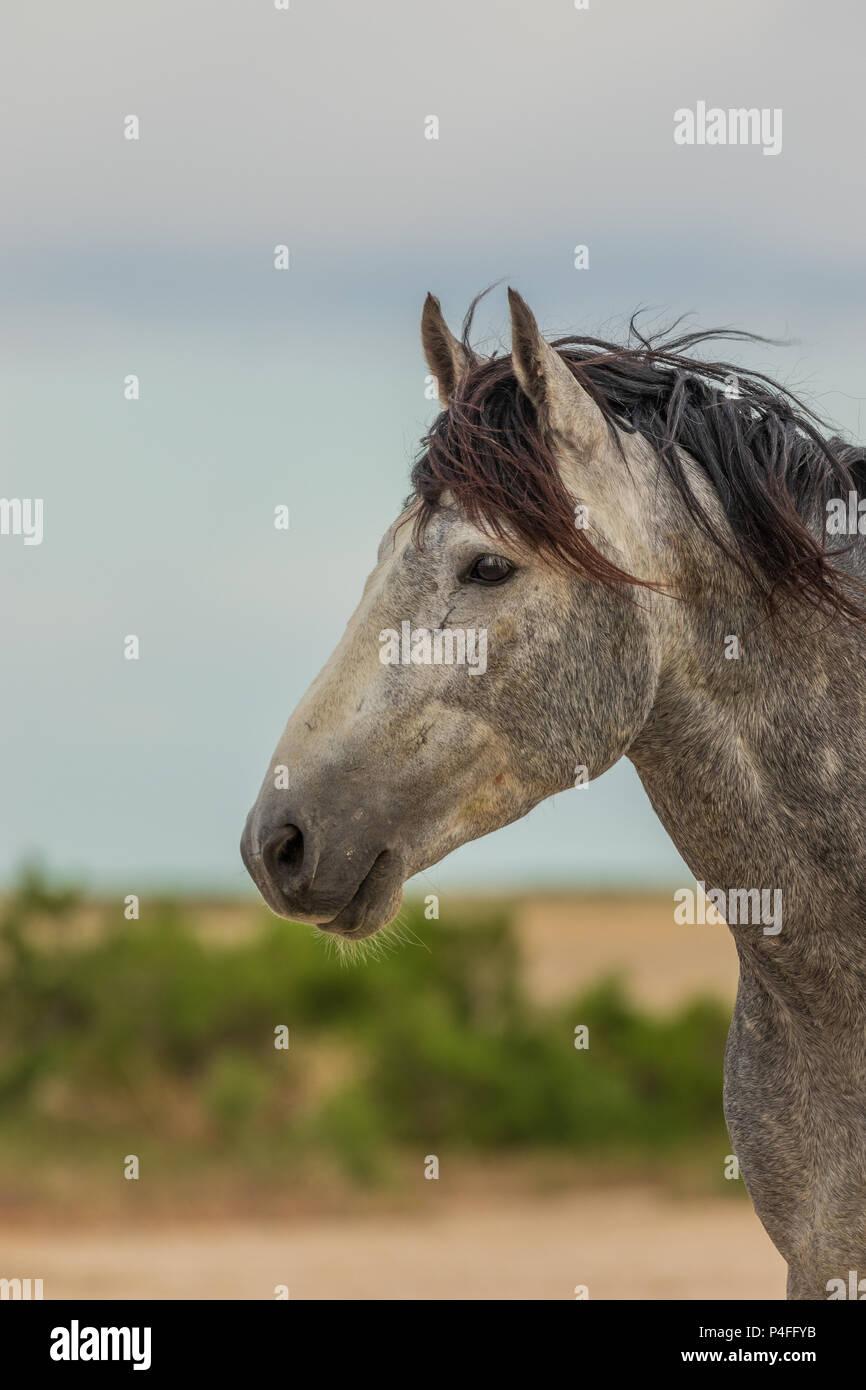 Wild horse Stallion Portrait - Stock Image