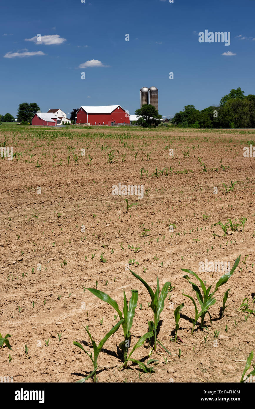 Farm scene with struggling corn crop failure in half empty bare field, likely due to a very wet spring, Pennsylvania, USA. - Stock Image