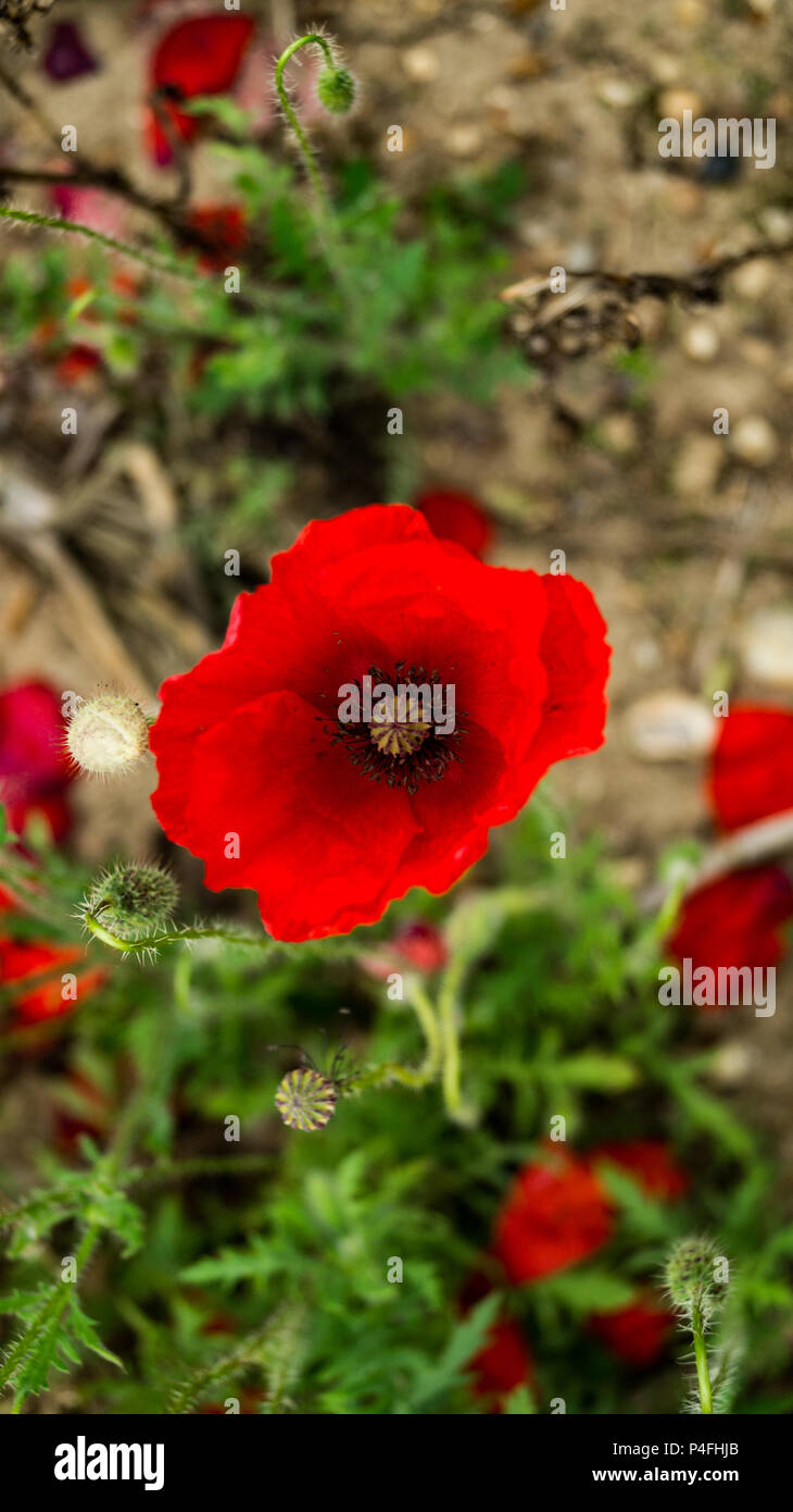 Close Up Of Red Poppy In Flanders Memorial Field Of World War 1