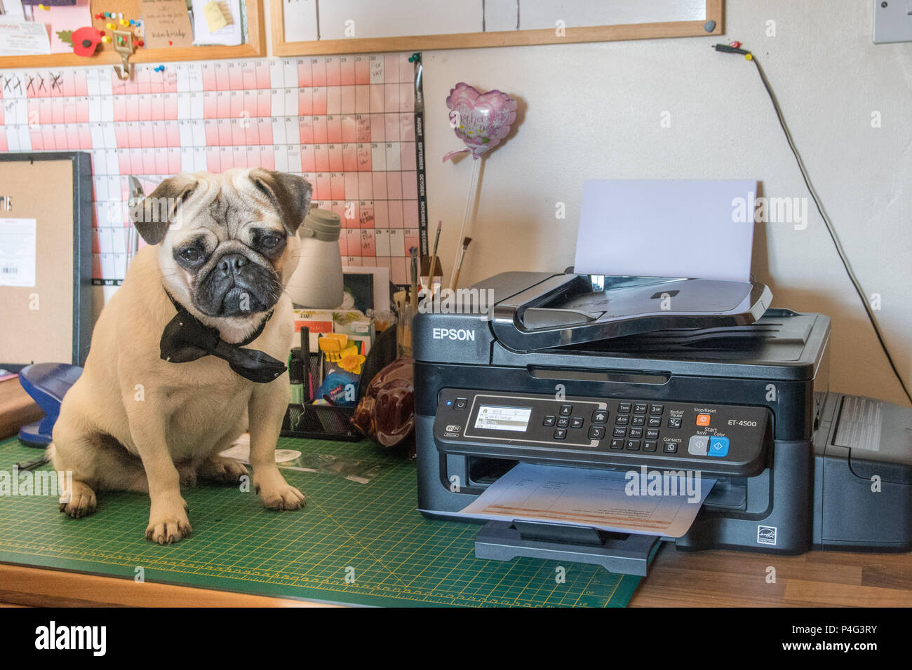Pug Pup sitting next to printer dressed up for bring your dog to work day Stock Photo
