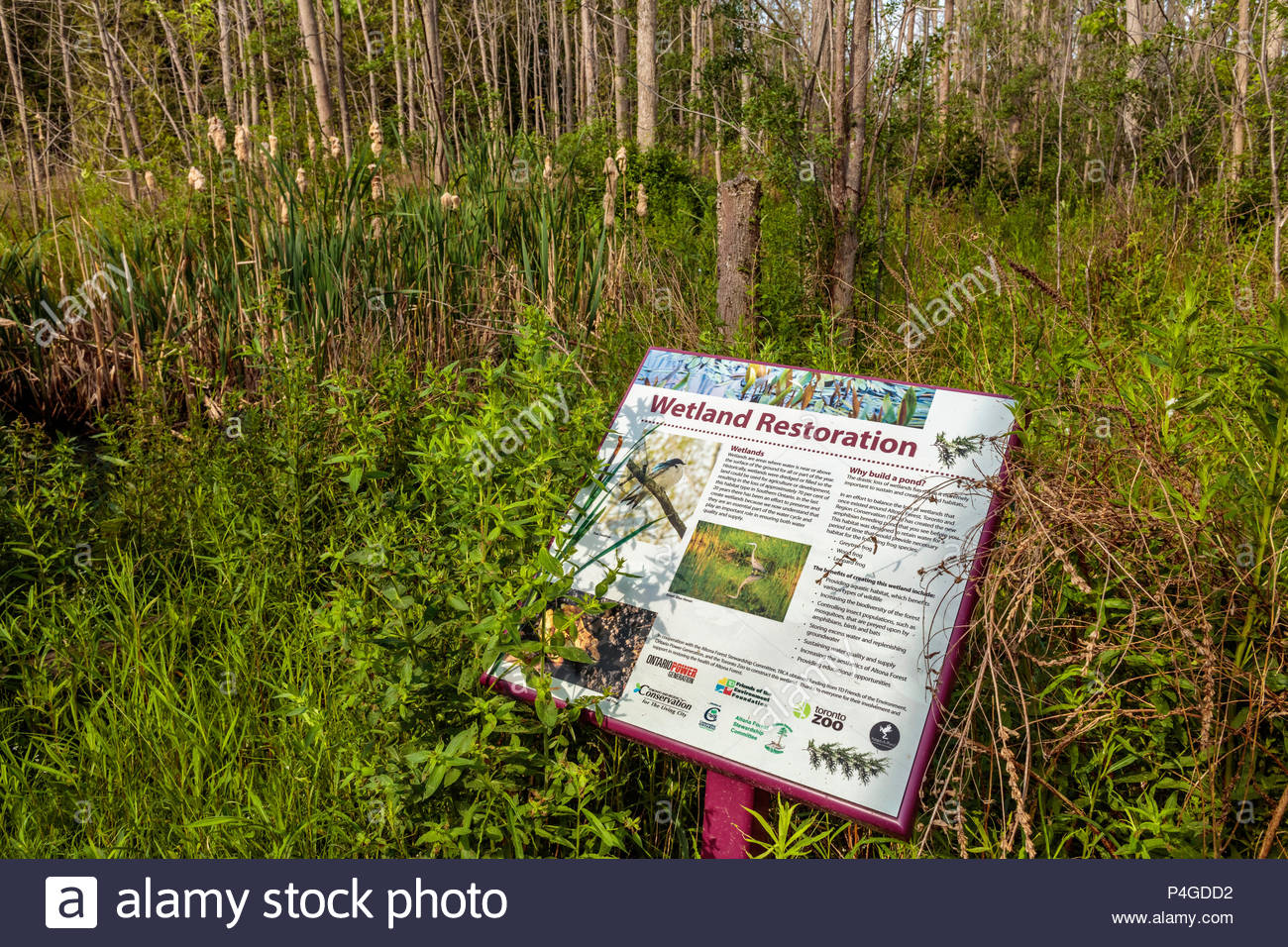 Interpretive trail sign beside the restored wetland of Altona Forest in Pickering Ontario Canada - Stock Image
