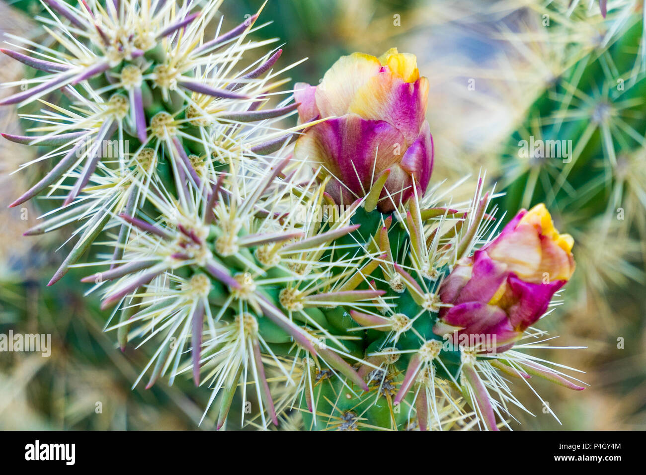 Close up view of purple cholla cactus flowers in the New Water Mountain area south of I10 at Exit 26, east of Quartzsite, Arizona. - Stock Image