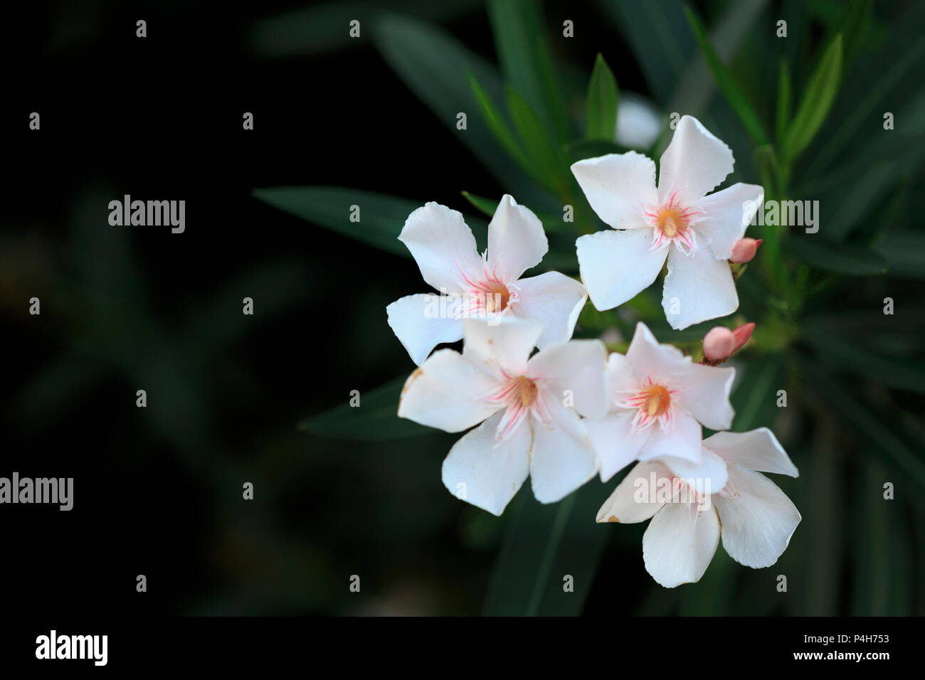Oleander Blossom Stock Photos Oleander Blossom Stock Images Alamy