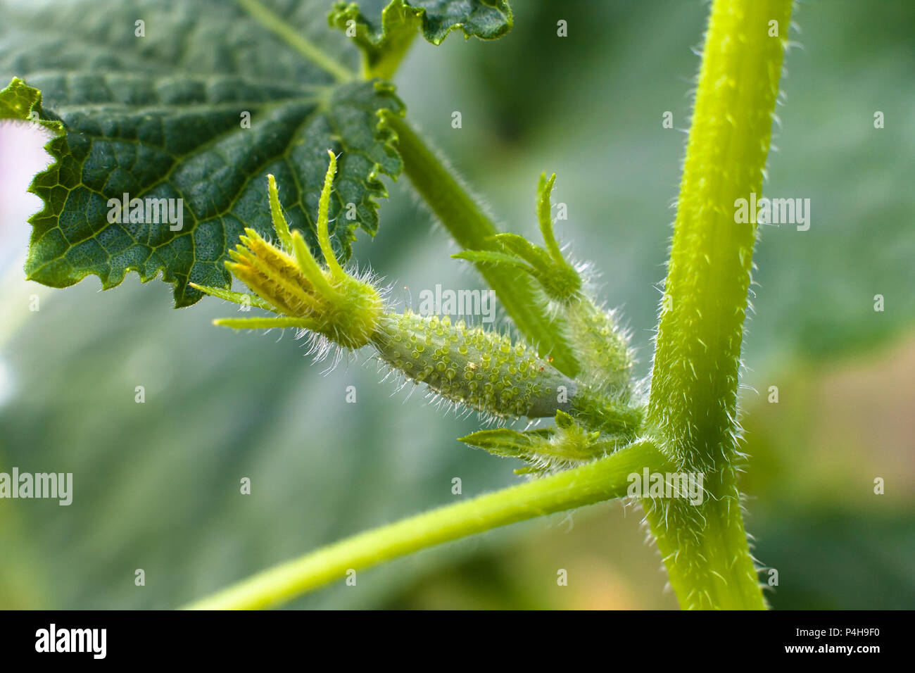 Vegetable Bud Stock Photos & Vegetable Bud Stock Images - Alamy