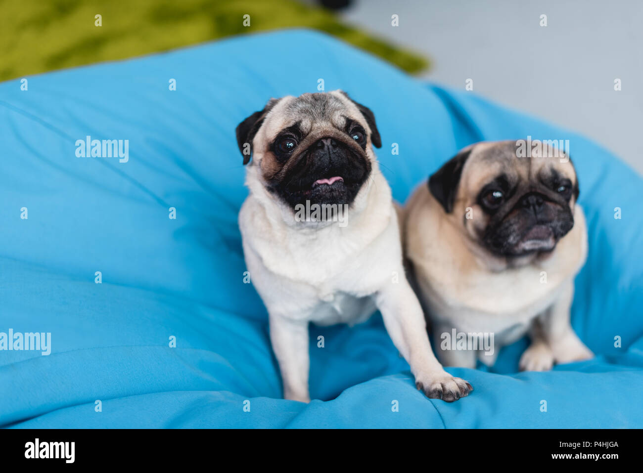 two cute pugs on blue bean bag chair at home - Stock Image