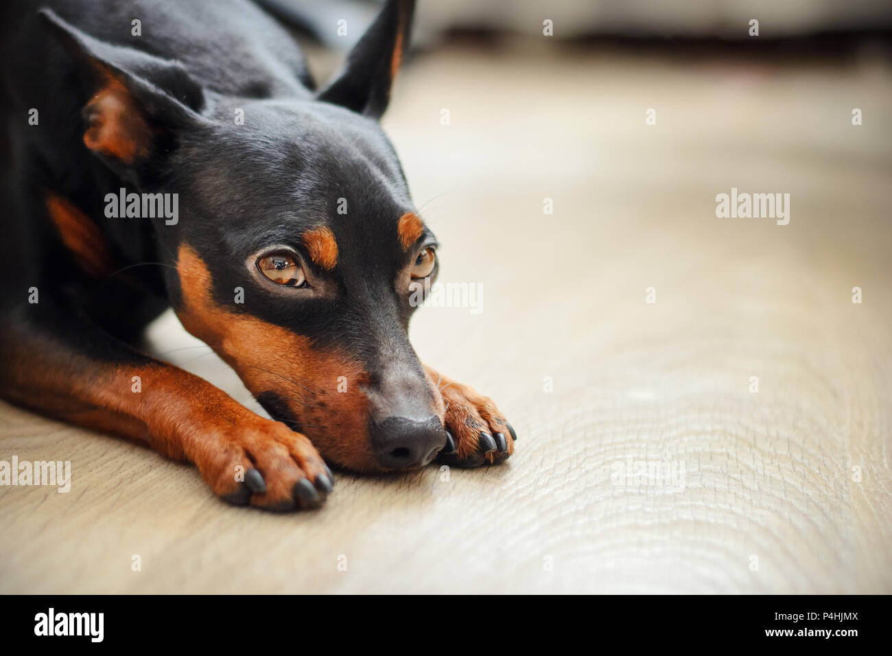 Dog dwarf pincher lies on the floor and looks sad eyes - Stock Image