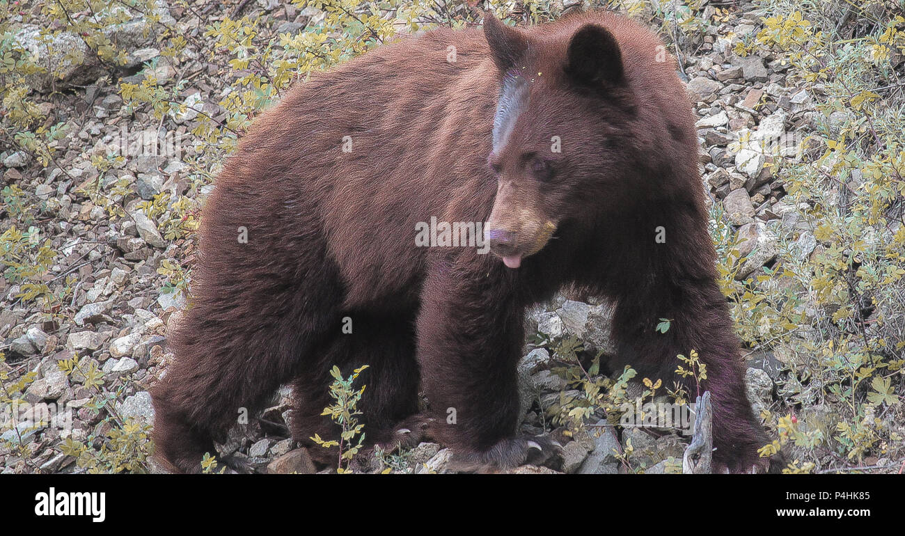 A (brown colored) Black Bear taken outside Telluride, CO - Stock Image