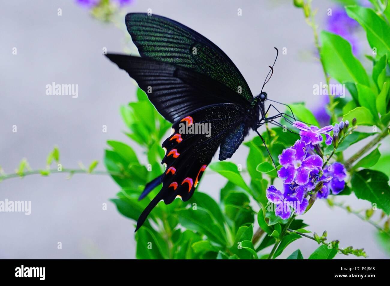 Sưu tập Bộ cánh vẩy 2 - Page 66 Papilio-maraho-P4J863
