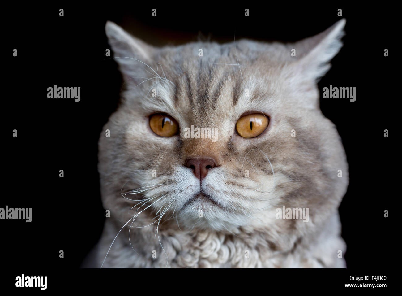 Portrait Of The Cat Selkirk Rex Breed Isolated On Black Small Depth