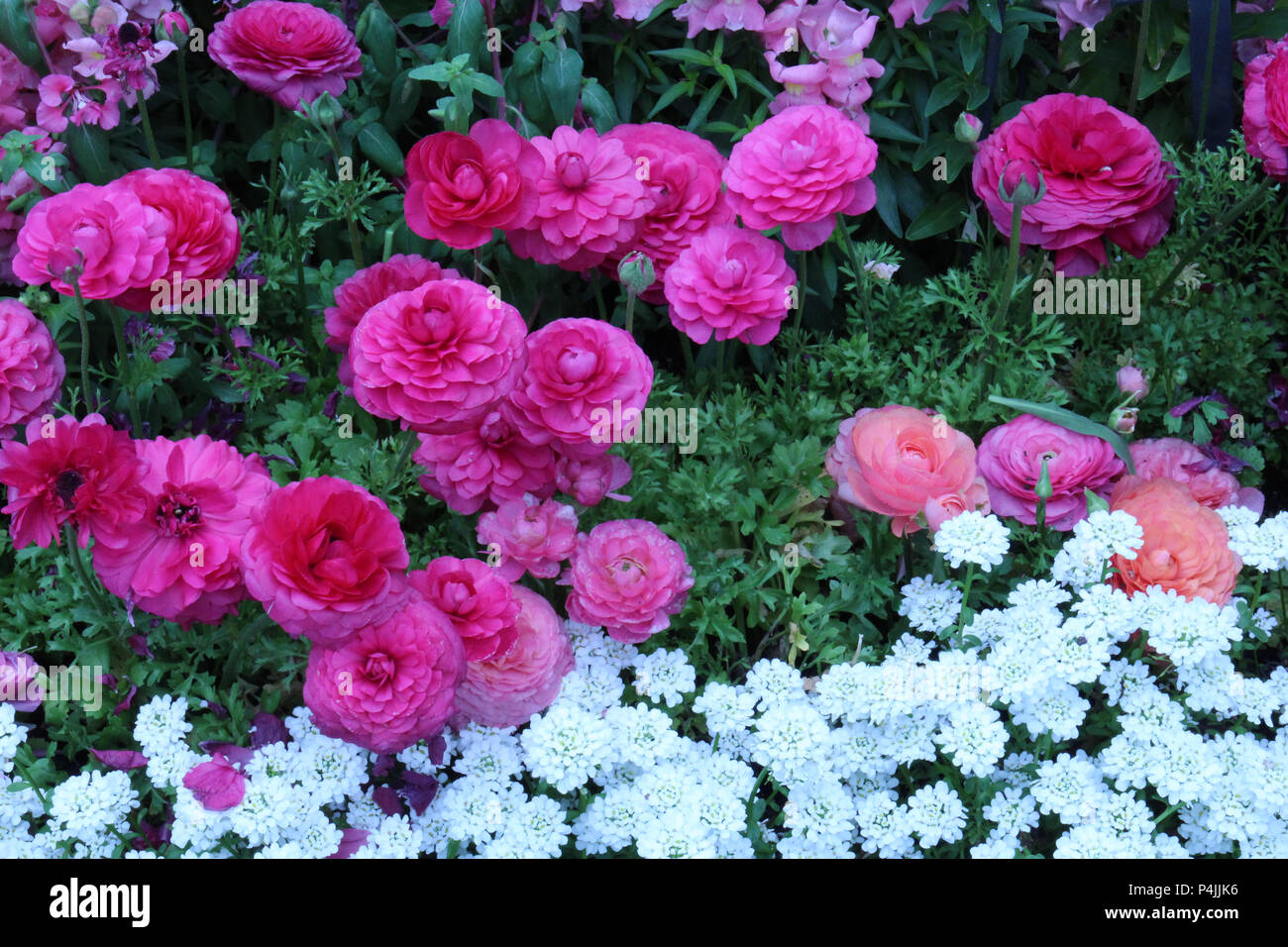 A flower bed filled with blooming pink and peach Ranunculus, pink Snapdragons and white Candytuft flowers in full bloom in the spring Stock Photo