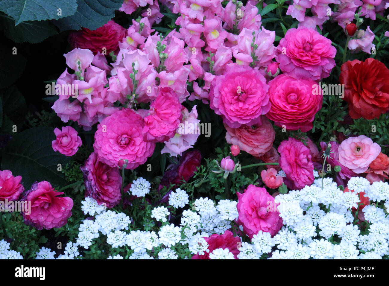 A flower bed filled with pink, peach, and red Ranunculus, pink Snapdragons and white Candytuft flowers Stock Photo