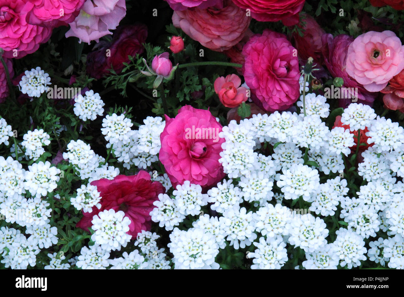 Pink Ranunculus, pink Snapdragon and white Candytuft flowers in a flower bed in spring Stock Photo