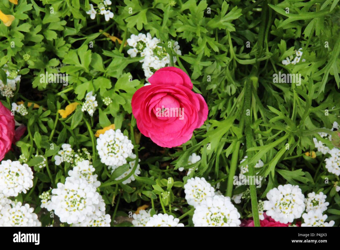 Close up of a pink ranunculus flower beginning to bloom growing close up of a pink ranunculus flower beginning to bloom growing amidst white candytuft flowers mightylinksfo
