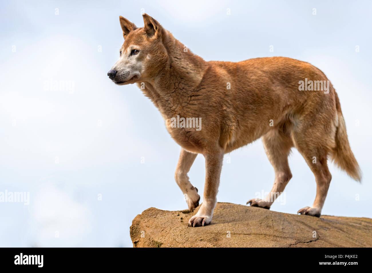 New Guinea Singing Dog Stock Photo Alamy