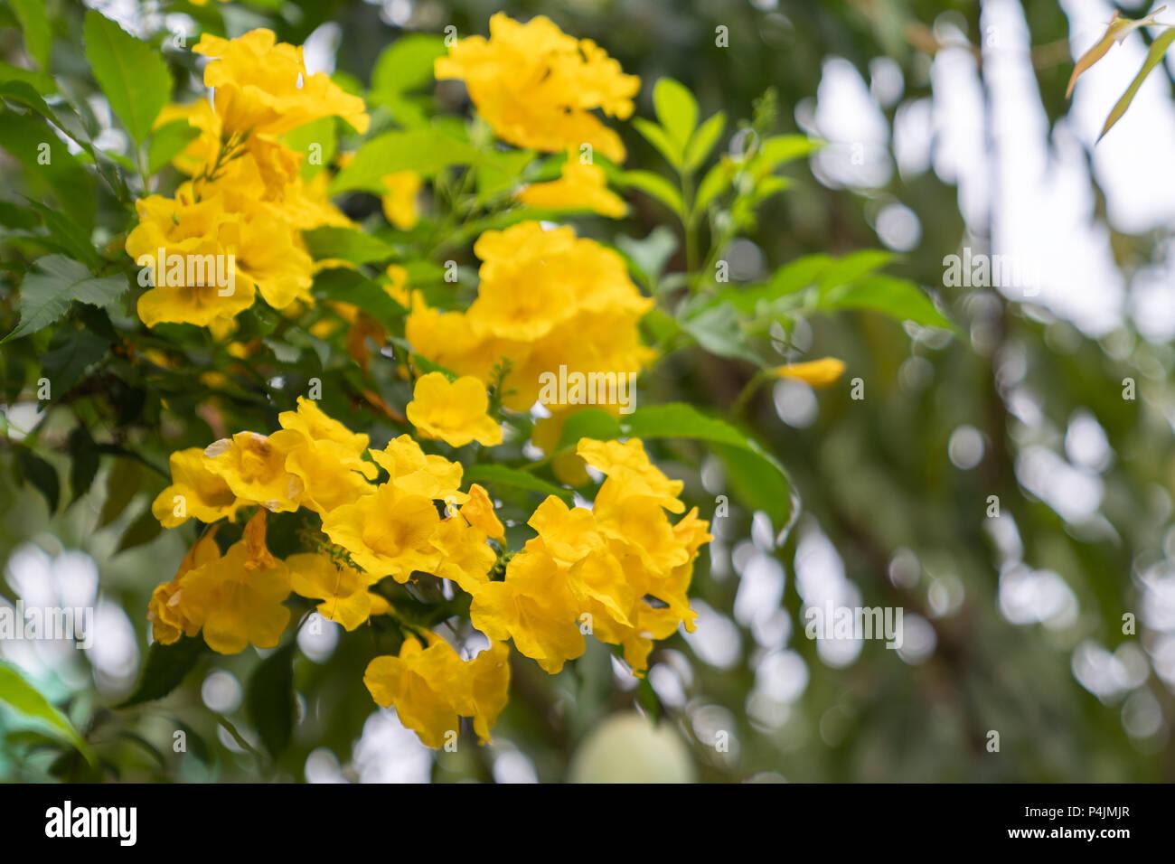 Beautiful small yellow flower on white sky background asia tree beautiful small yellow flower on white sky background asia tree background mightylinksfo