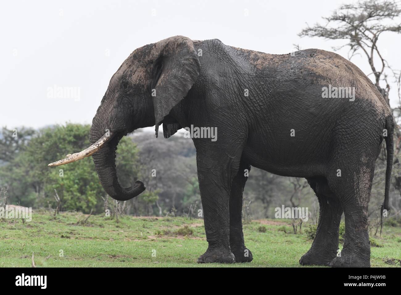 Large lone African Bull Elephant wondering across the Maasai Mara, Kenya. Large intact tusks. Genus Loxodonta - Stock Image