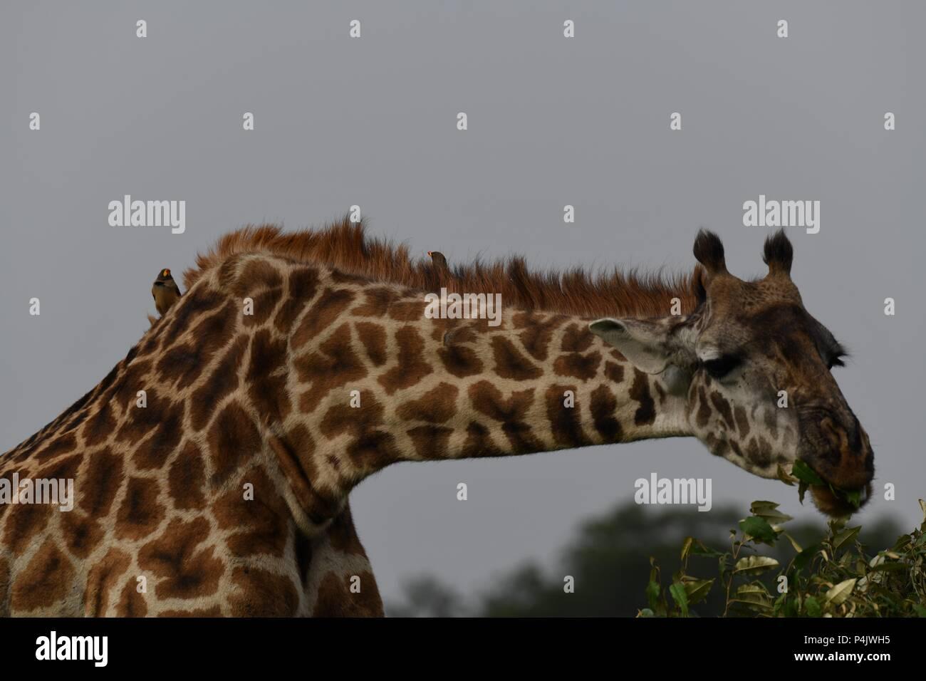 The Maasai giraffe (Giraffa camelopardalis tippelskirchii), also called Kilimanjaro giraffe. Picture taken in the valley at Mahali Mzuri, Maasai Mara. Stock Photo