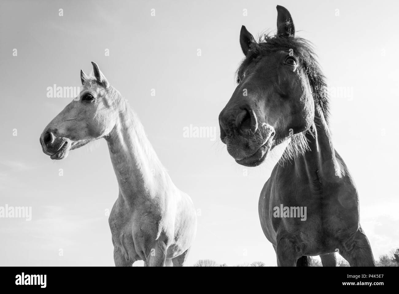 Dark Brown and White Horses Outdoors on a Bright Sunny Day - Stock Image