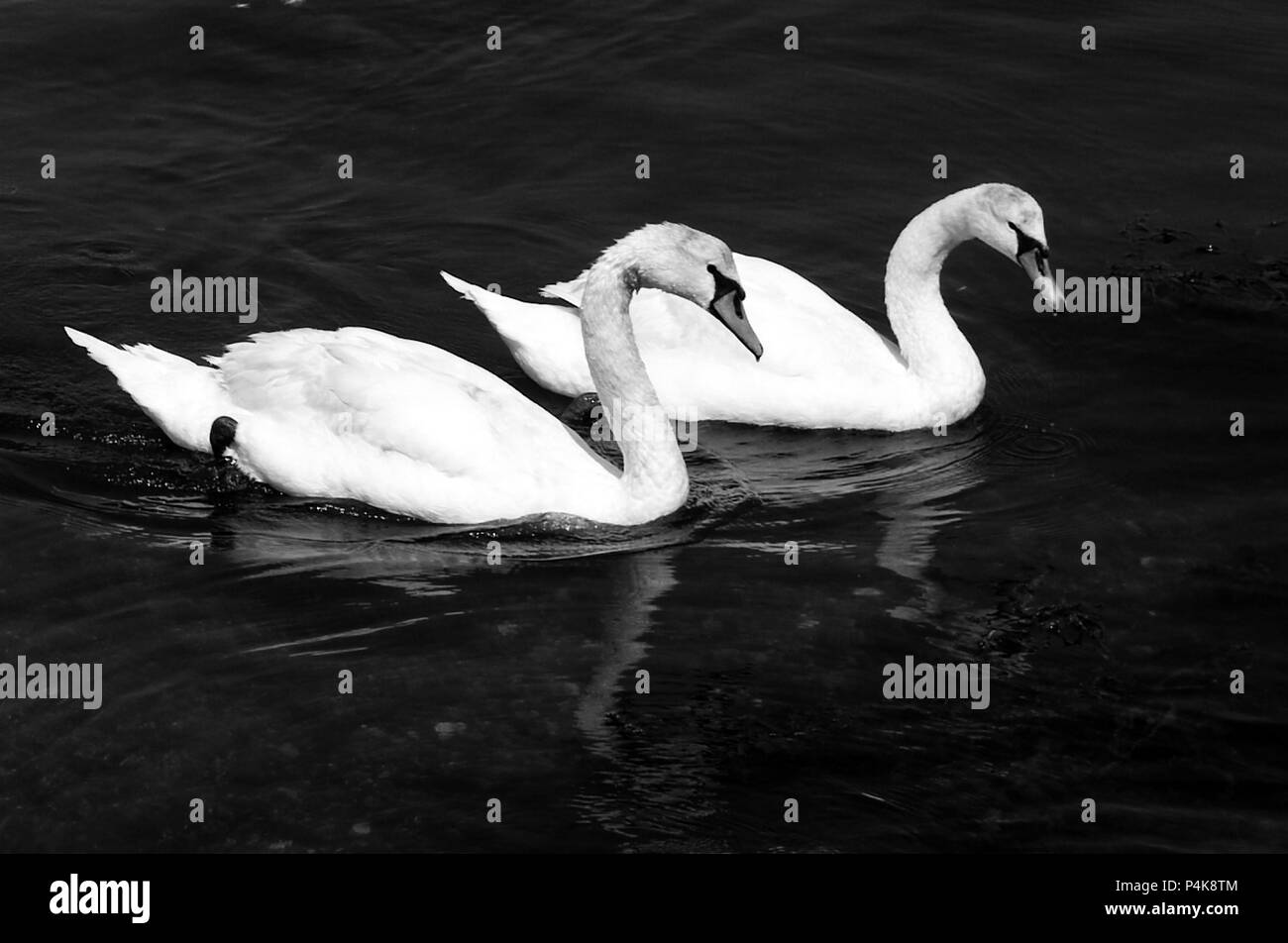 Two swans paddle in creek in the Carrick Roads, next to the Pandora Inn, in Cornwall on June 12, 2018 - Stock Image