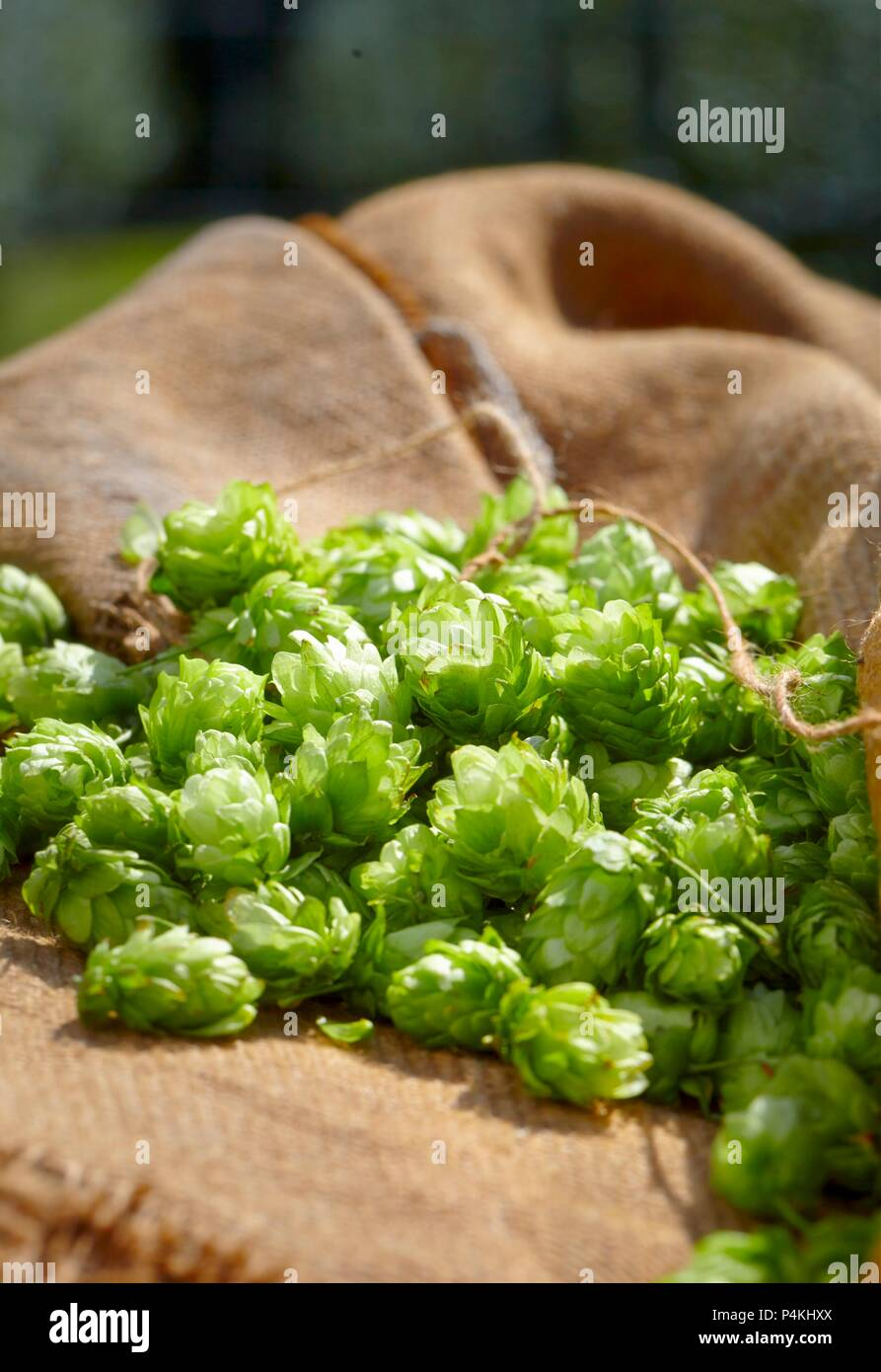 Fresh hops on a jute sack - Stock Image