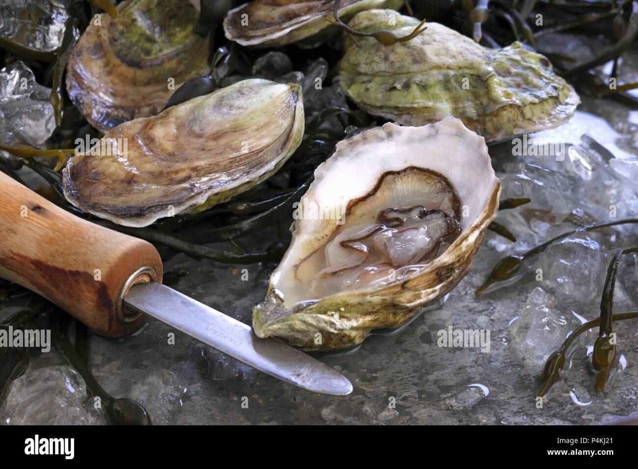 Fresh Oysters on Ice - Stock Image