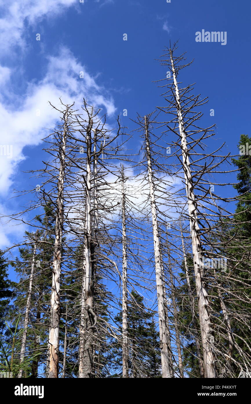 Tree mortality. Spruce trees in a forest in Germany, damaged by bark beetles. - Stock Image