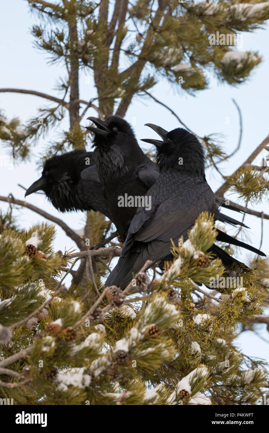 Common Raven / Kolkraben ( Corvus corax ) in winter, perched in a conifer tree, calling loudly, showing courting behaviour, interaction, Yellowstone a - Stock Image