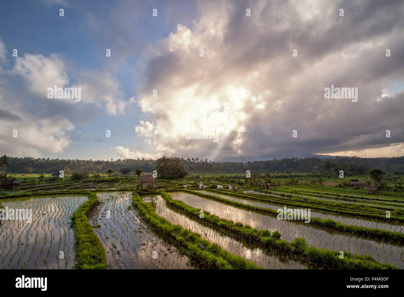 Rice fields in a valley at morning light. Bali island - Stock Image
