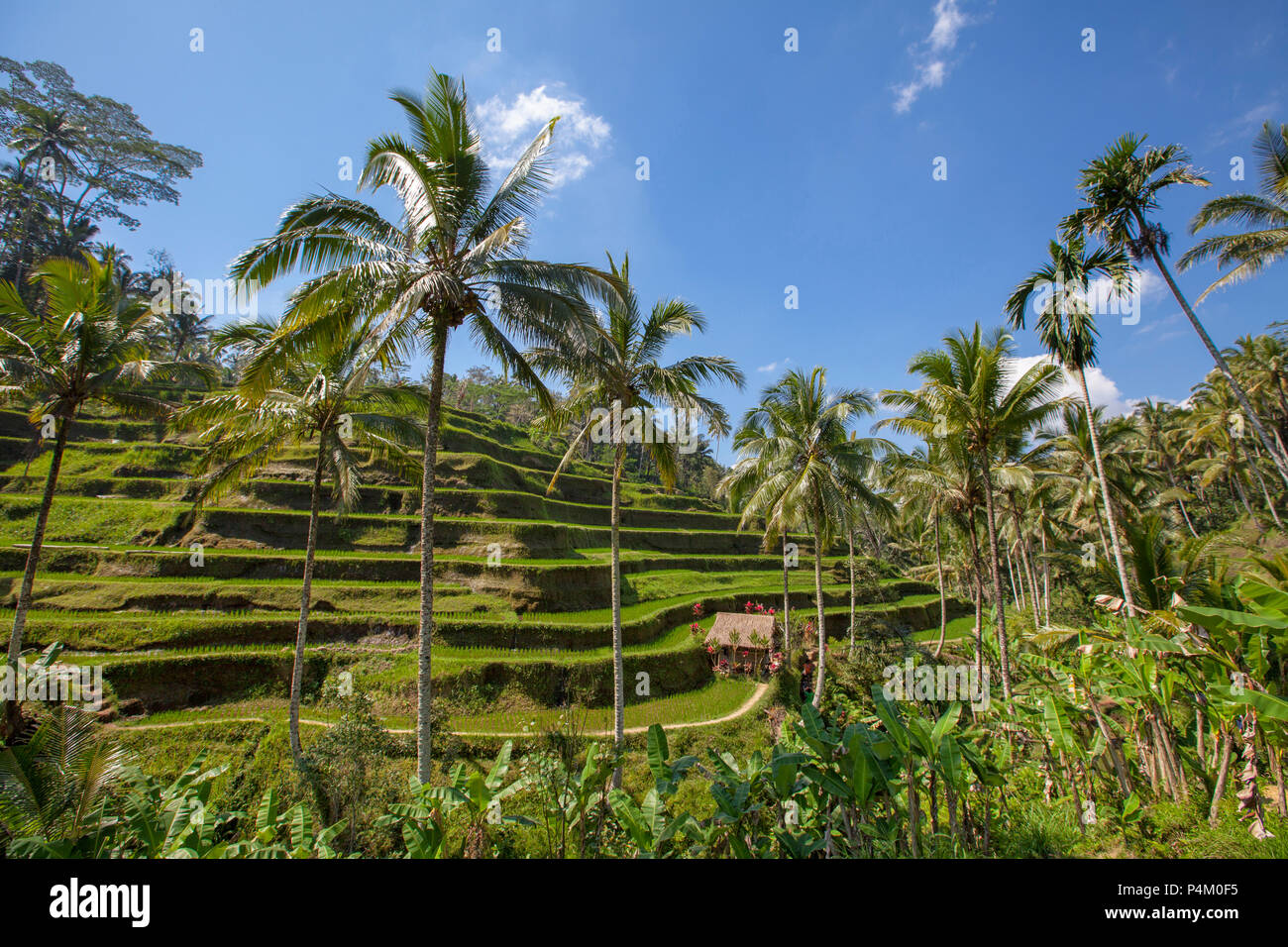Rice terraces in Tegallalang. Ubud, Bali, Indonesia - Stock Image
