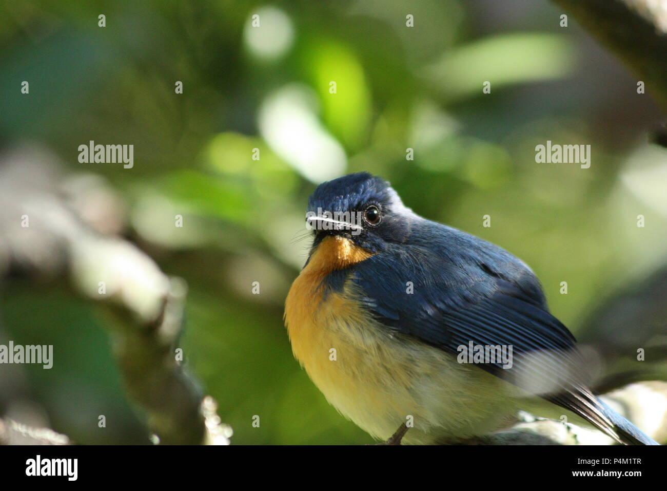 Tickell's Blue Flycatcher - Stock Image