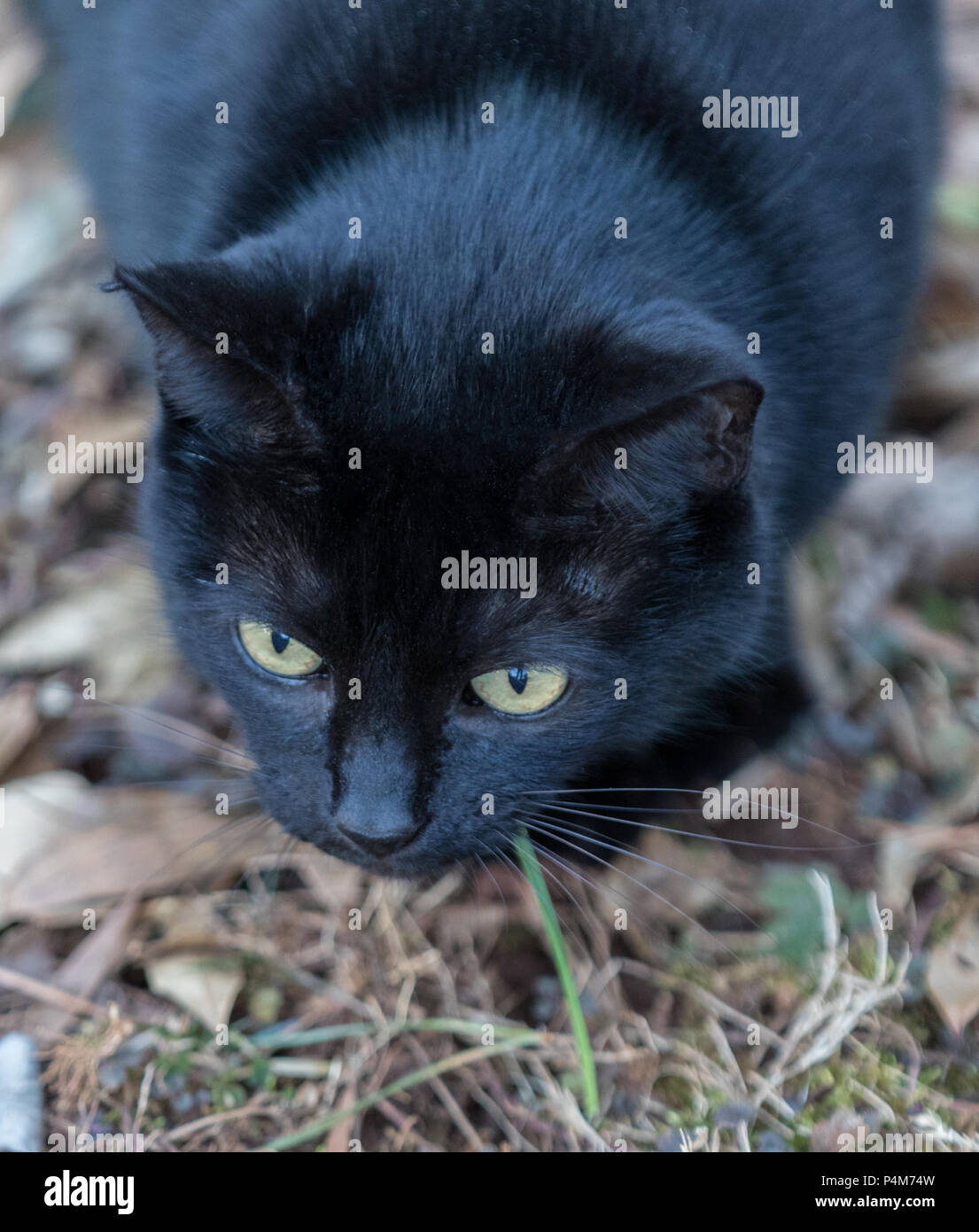 A black cat, focused and ready to pounce, shot from above. - Stock Image