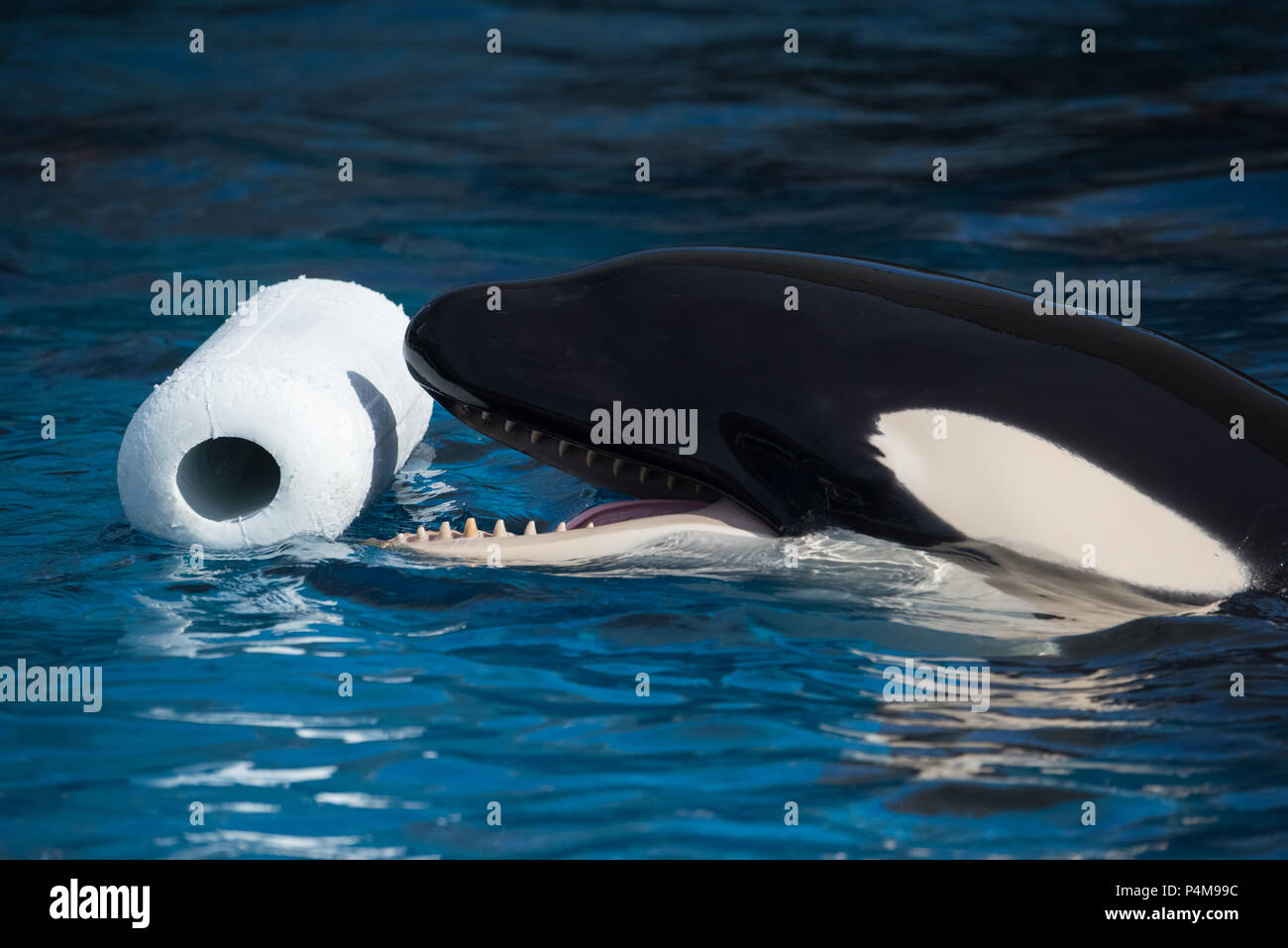 A young orca named Lynn plays with an Environmental Enrichment Device (or 'toy') at the Port of Nagoya Aquarium in Nagoya, Japan. - Stock Image