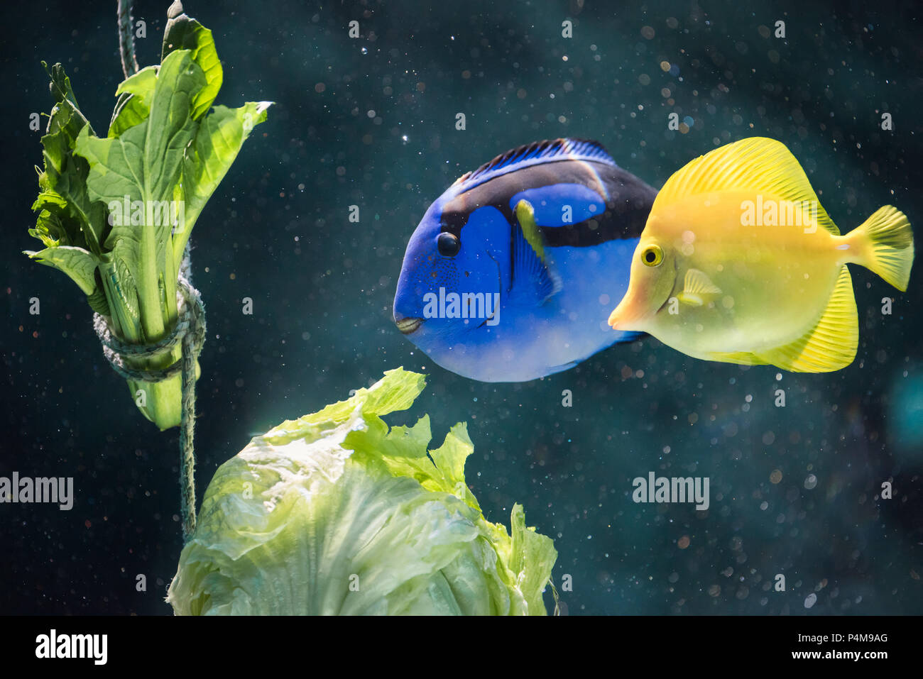 A Regal Blue Tang and Yellow Tang enjoy some lettuce as a form of enrichment at the Port of Nagoya Aquarium in Japan. - Stock Image