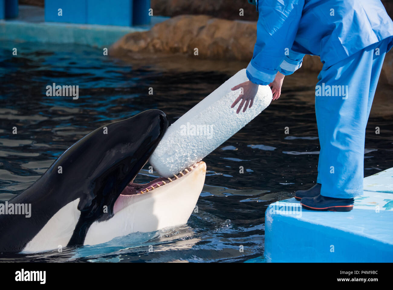 An orca named Earth brings his trainer a toy in hopes of having it thrown at the Port of Nagoya Aquarium in Japan. - Stock Image