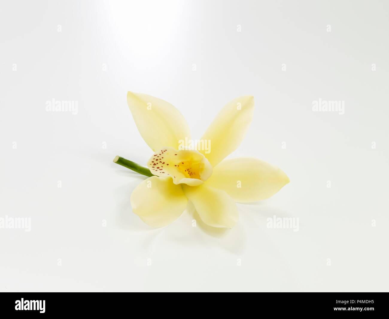 A Single White Fresh Flower Background Stock Photos A Single White
