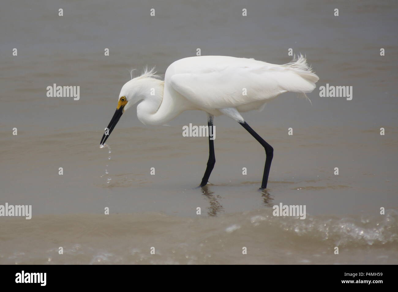 Ft. Myers Snowy Egret - Stock Image