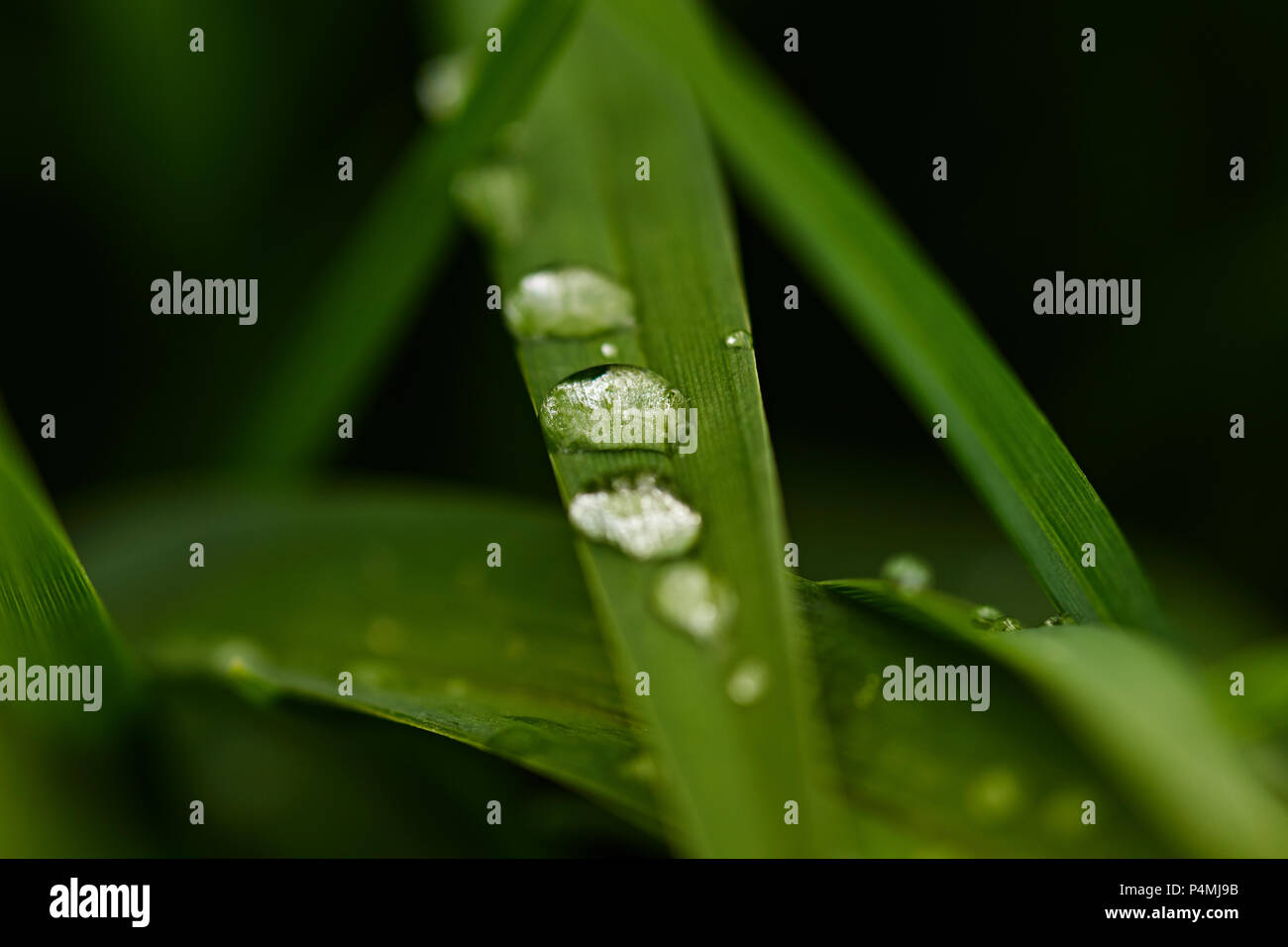 Water drops on the grass. After rain on the grass were drops. They reflect the world around them. Nature, macro, close-up. Russia, Moscow region - Stock Image