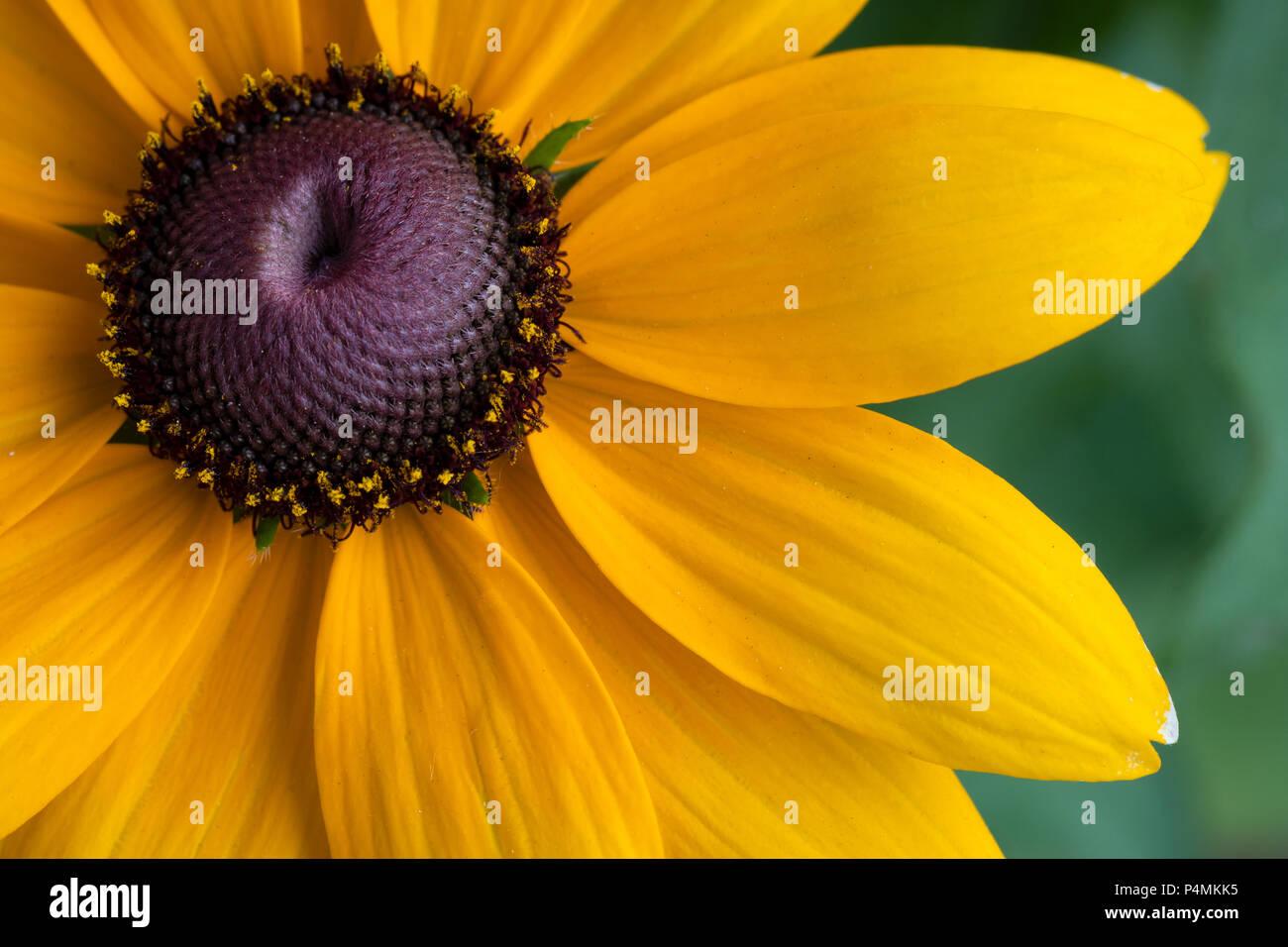 Close-up of a yellow Rudbeckia fulgida flower - Stock Image