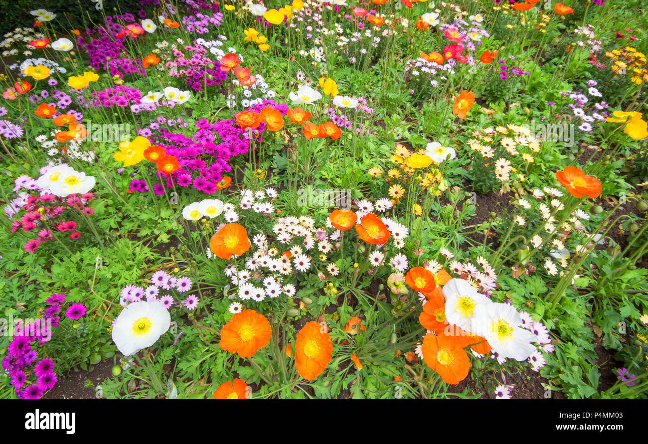 Colorful and beautiful spring flowers blooming on a garden in natural summer or spring background. - Stock Image