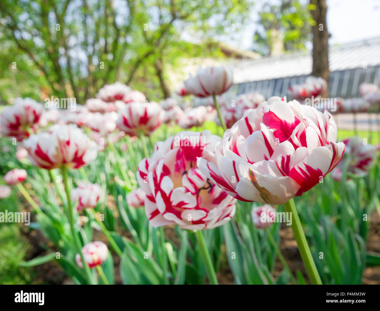 Beautiful, colorful bouquet blooming of tulips fields, spring tulip blossom flowers background. - Stock Image