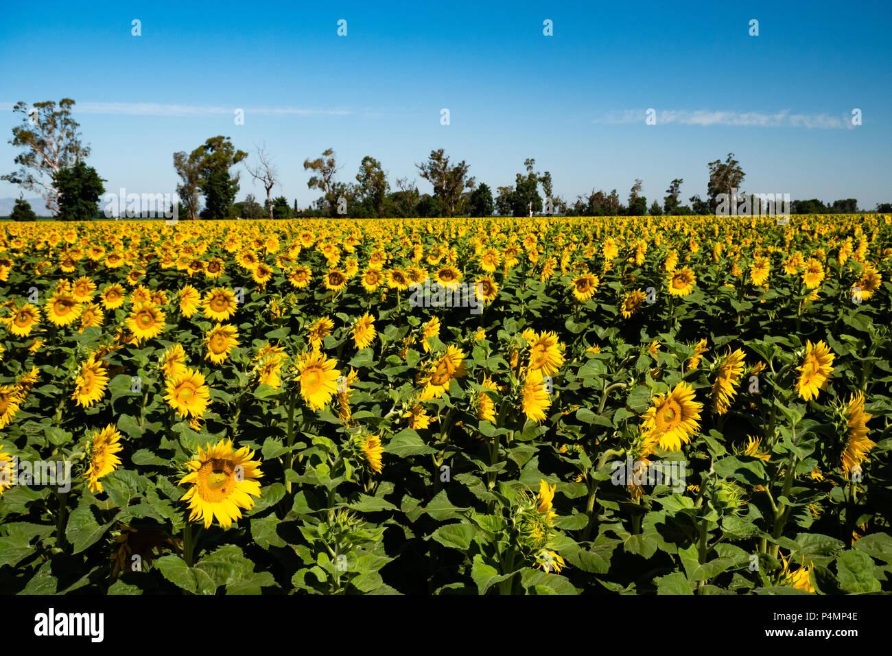 Sunflowers Dixon, California - Stock Image