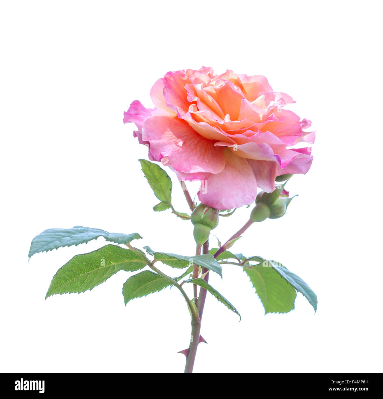 Beautiful Rose Flowers Bunch Of Pink Rose Blooming Isolated On